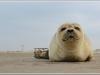 Junger Seehund